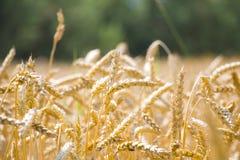 Достигли предпосылка леса пшеницы Стоковые Изображения RF