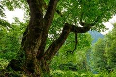 Досточтимое дерево клена пасьянса с gnarled ветвью Стоковые Изображения