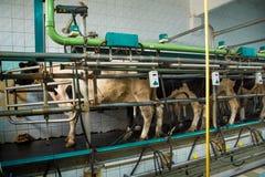 Доящ комнату на корове обрабатывайте землю дело молокозавода, агробизнес, liveli стоковые изображения