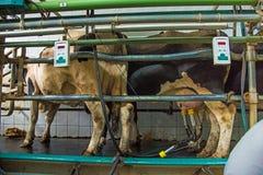 Доящ комнату на корове обрабатывайте землю дело молокозавода, агробизнес, liveli стоковое фото rf