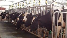 Доя коровы на современной ферме, коровы стоят в стойлах перед доить, процессе доить молоко, сельское хозяйство, молокозавод акции видеоматериалы