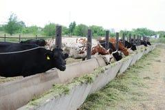 Доя коровы на ферме едят silage Стоковое Изображение
