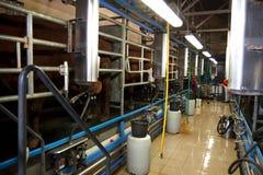 Доя коровы на ферме Стоковые Изображения RF