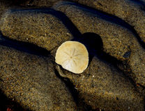 Доллар песка Стоковое Фото