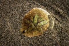 Доллар песка Стоковые Фотографии RF