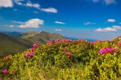 Долина ландшафта горы с розовым рододендроном Стоковые Изображения RF