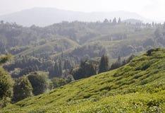 Долина чая стоковые фотографии rf