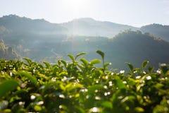 Долина чая Стоковое Изображение