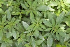 Долина Jakar - завод марихуаны Стоковые Изображения
