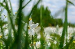 Долина Narcissus стоковое изображение