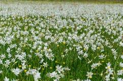 Долина Narcissus стоковое фото