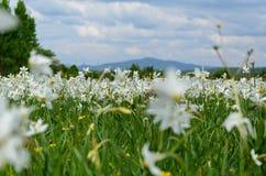Долина Narcissus стоковое фото rf