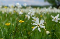 Долина Narcissus стоковое изображение rf