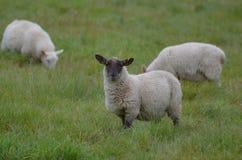 Драгоценное стадо овец в Ирландии Стоковая Фотография