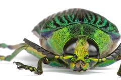 драгоценность жука Стоковая Фотография
