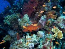 драгоценность grouper Стоковые Изображения RF