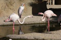 Драка большого фламингоа - roseus Phoenicopterus стоковая фотография