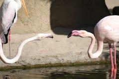 Драка большого фламингоа - roseus Phoenicopterus стоковое фото