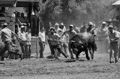 драка быка Стоковая Фотография