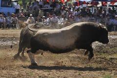 драка быка Стоковое Изображение
