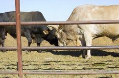 драка быков стоковая фотография