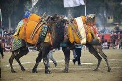 Драка верблюда стоковое изображение