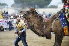 Драка верблюда стоковая фотография rf
