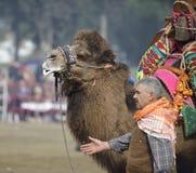 Драка верблюда стоковая фотография