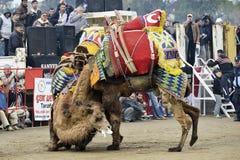 Драка верблюда стоковые фотографии rf
