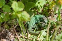 Драка зеленых ящериц стоковые фото