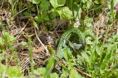 Драка зеленых ящериц стоковые изображения rf