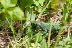 Драка зеленых ящериц стоковая фотография rf