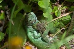Драка зеленых ящериц стоковое изображение