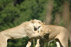 Драка льва стоковые фото