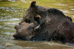 Драка медведя Стоковые Изображения