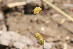 Драка пчелы - супер быстрая и злющий Стоковое Изображение RF