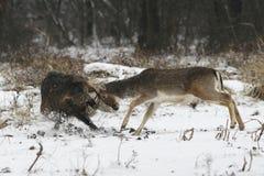 драка самеца оленя хряка залежная Стоковое Изображение