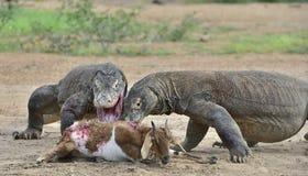 Драконы Komodo атакуют добычу Стоковое Изображение RF