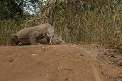 Драконы Komodo во время сопрягать и защищать гнездо близко к фотографу Стоковая Фотография RF