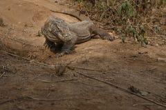 Драконы Komodo во время сопрягать и защищать гнездо близко к фотографу Стоковые Фотографии RF