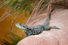 Дракон воды Gippsland Стоковое Фото