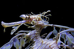 Дракон моря Стоковая Фотография