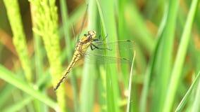 Дракон-муха в поле риса (4K) сток-видео