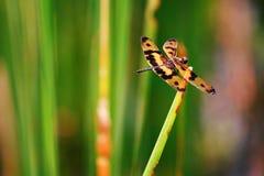 Дракон-муха отдыхая в луге Стоковое Фото