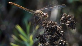 Дракон-муха отдыхая на сухом засорителе Стоковое фото RF