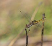 Дракон-муха стоковая фотография