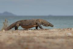 Дракон на пляже Стоковые Изображения RF