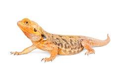 Дракон оранжевого цвета бородатый Стоковые Изображения RF