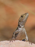 дракон jacky Стоковые Изображения RF