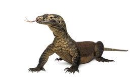 Дракон Komodo вставляя язык вне, изолированный на белизне Стоковая Фотография RF